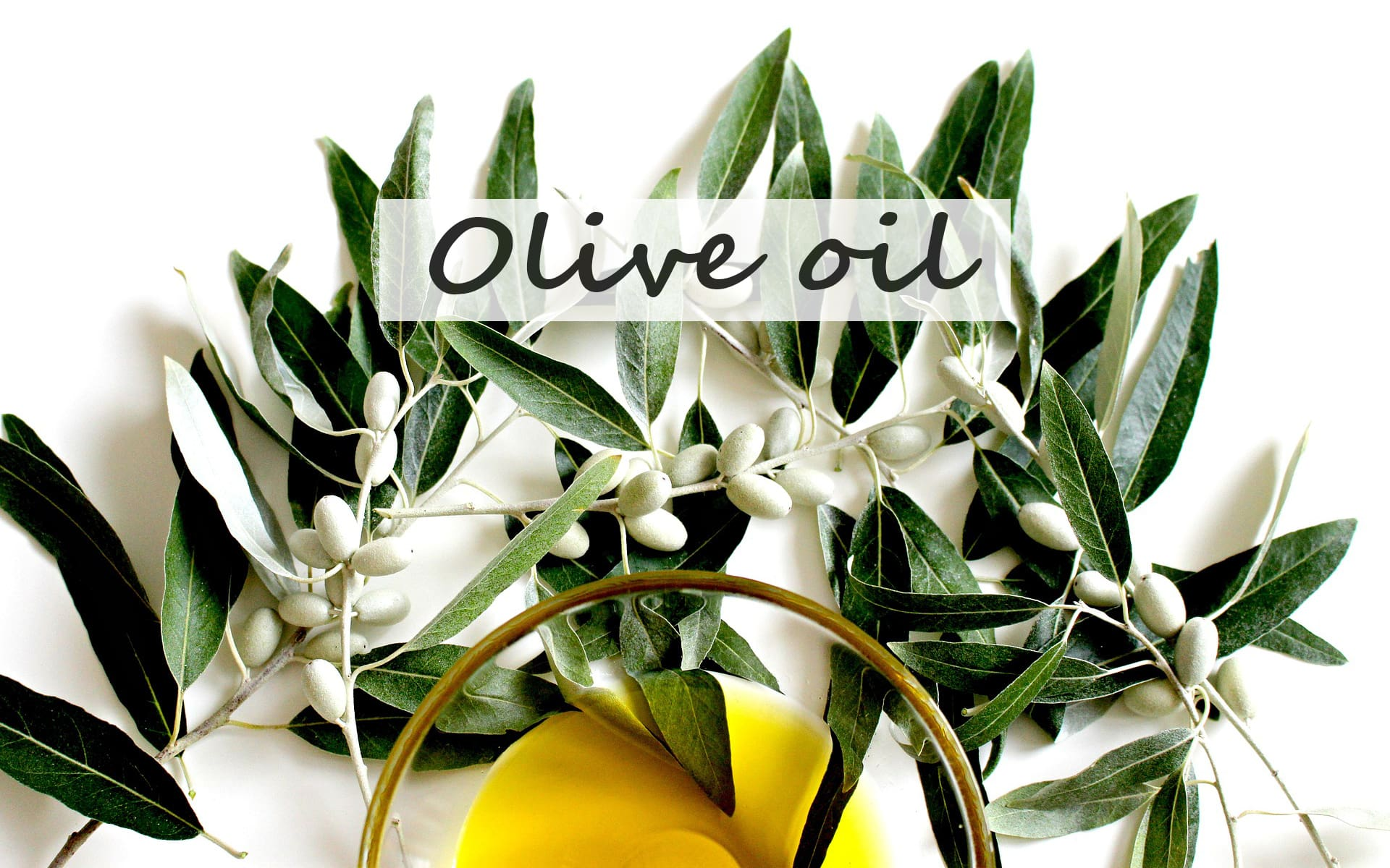 olive oil tree branch